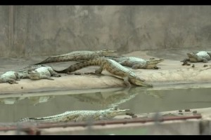 Investing in Zimbabwe's crocodile farms