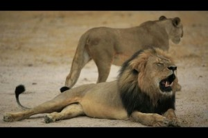 VIDEO – US hunter accused of killing beloved Zimbabwean lion Cecil